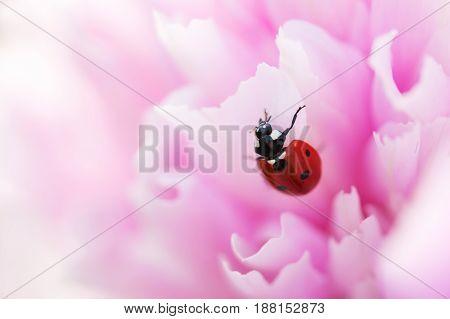 Ladybug on a flower closeup. Macro of a ladybug.
