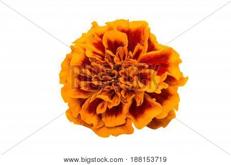 Marigold floral bouquet isolated on white background