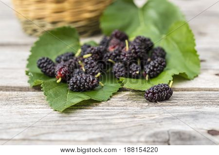 Close up of wild sycamore black berries on sycamore leaves