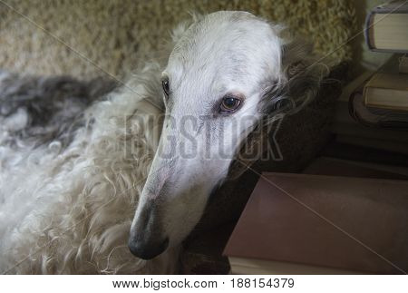 The Borzoi also called the Russian wolfhound dog portrait. Dog is situated on sofa.