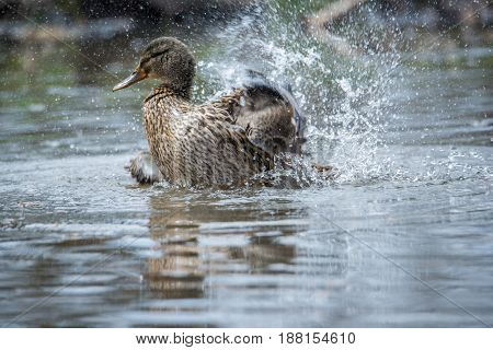 Female Mallard Duck splashing in water with water droplets in the air