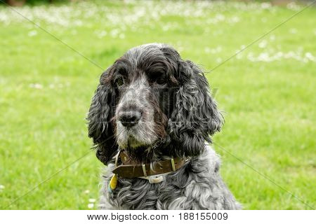 Portrait ten year old english cocker spaniel