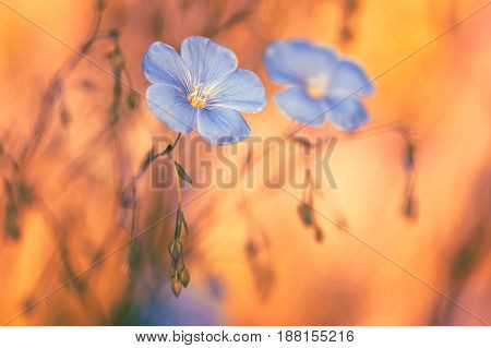 Flax flowers on a beautiful background.An artistic image.Selective focus.