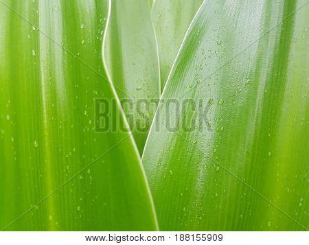 Closed up Crinum Lily leave with rain drop. - selective focus detail botanical line