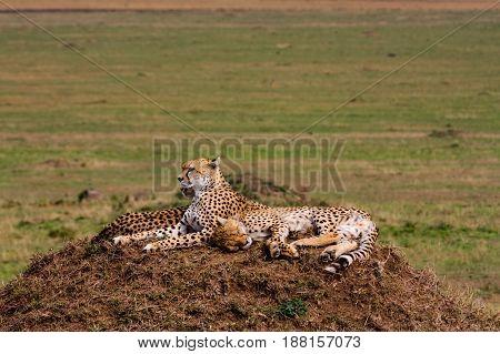 Two cheetahs is watching the savanna. Hills of Masai Mara, Africa