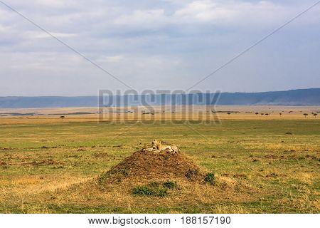 The family of cheetahs is watching the savanna. Hills of Serengeti, Africa