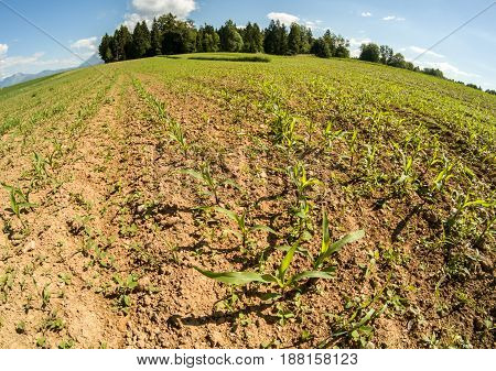 field with young small green plants wide angle