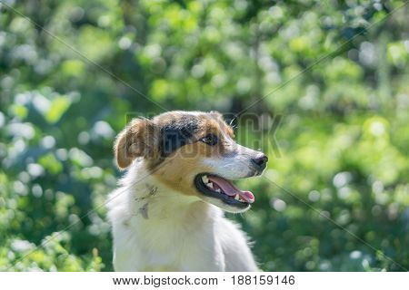 portrait of happy outbred dog on a street at sunny summer day. outdoor shot with green trees on background. side view