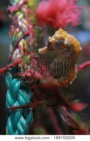 a Seahorse fish in the sea aquarium