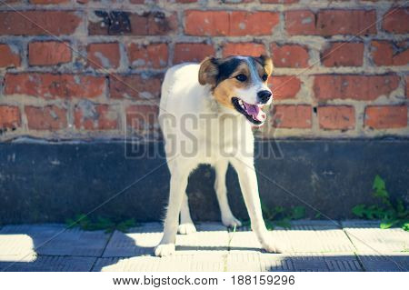 happy outbred dog on a street at sunny summer day. outdoor shot with brick wall as background