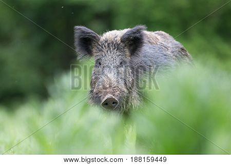 Wild Boar Walking On Meadow
