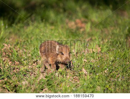 Wild Boar Piglet Walking On Grass