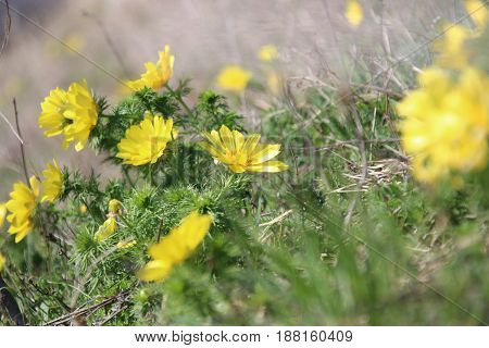 Spring background with beautiful yellow flowers, Meadow.