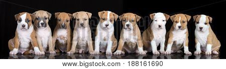 group of nine puppies sitting on a black background