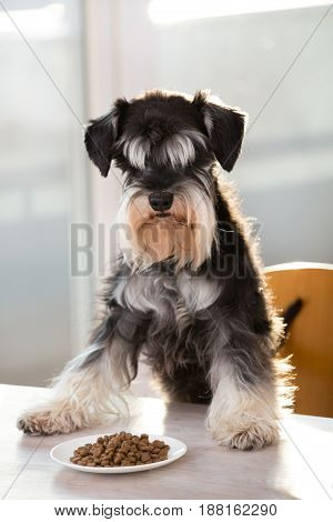 Cute miniature schnauzer standing with forelegs on table in front of plate full of granules and looking at camera. Obedient dog waiting for permission
