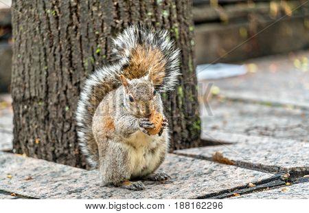 Eastern gray squirrel eats a walnut on Trinity Square in Toronto - Canada