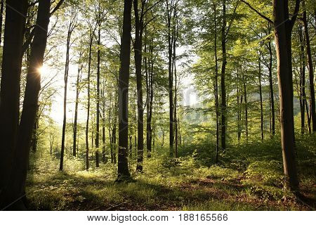 Spring deciduous forest at dawn . .