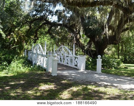 White Bridge with Spanish moss in Oak tree