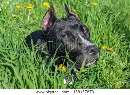 Young black Staffordshire terrier dog. Six month old dog on green grass background.