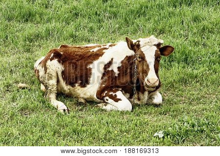 Lone cow lying in the grass, white and brown cow
