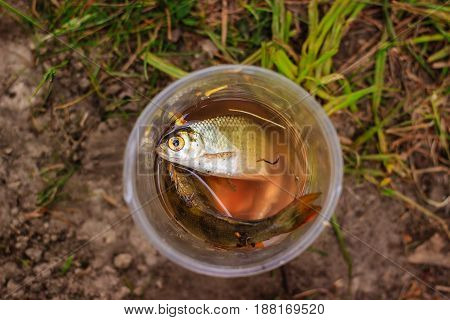 Roach and perch in a plastic glass filled with water a small catch on the fishing
