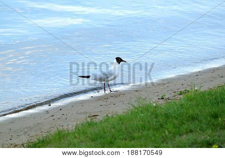 Outdoor landscape with single seagull stand on river coast line with sand and grass on summer day