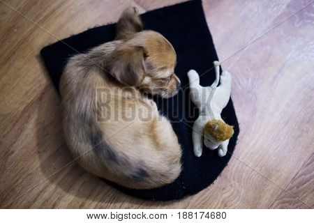 Little chihuahua puppy sleeps on the floor with his toy