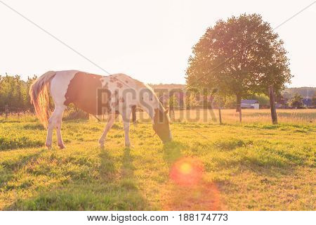 Backlit grazing horse just before sunset and a tree in the background. Waanrode Flanders Belgium