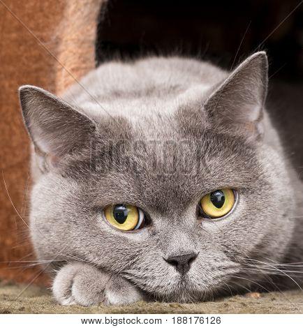 Yellow eyes of a grey British cat