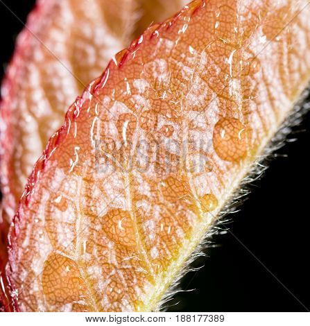 Reddish leaves on a plant in nature. macro