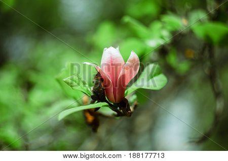 Flowering Magnolia Tree Blossom