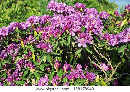 Detail of flowering purple rhododendron, green, pkant