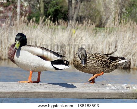 The ducks on the bank of Oakbank Pond in Thornhill Canada April 17 2017