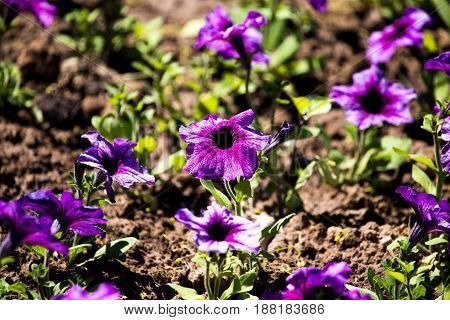 Small purple flowers on the ground in nature .