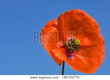 bee collects pollen on a beautiful red poppy flower