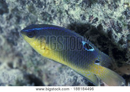 A juvenile Two Spot Damselfish at the Kwajalein Atoll in the Pacific