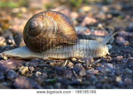 snail with a beautiful shell, slowly crawling along the road in the early morning