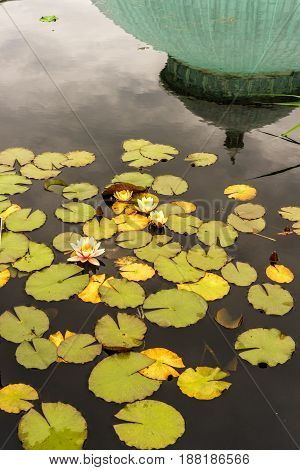 New York Garden Lilies on Water Spring