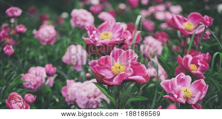 Beautiful pink peonies flowers greens and bokeh lighting in the garden summer outdoor floral nature background. Spring and summer landscape