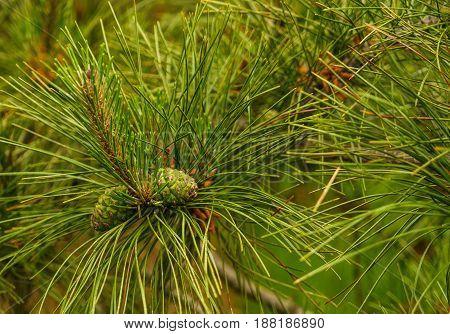 New York Botanical Garden, Pine cones Bronx Spring