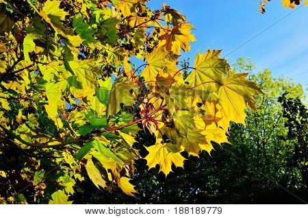 Young maple leaves in the backlight. Spring background
