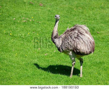 Ostrich standing on grass looking straight ahead with grass in its mouth and showing attitude. Space for text.