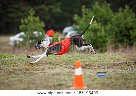 Dog Greyhound Pursues Bait In The Field