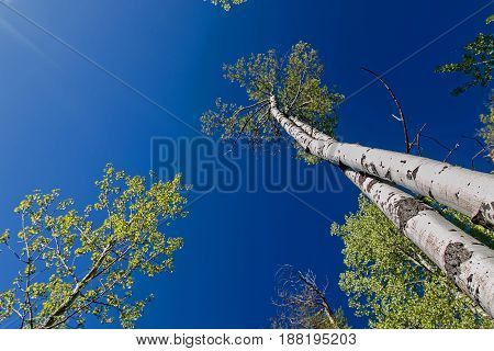 Skyward view of aspen trees. Trunks and leaves.