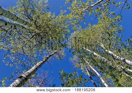 Skyward view of clustered aspen trees. Trunks and leaves.