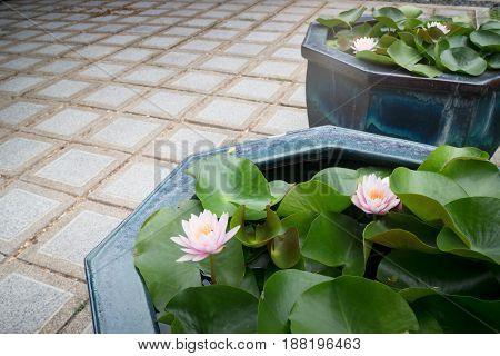 Indian Lotus Nucifera Flower Bloom stock photo