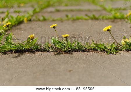 Several dandelion flowers grow between concrete slabs. Urban space.