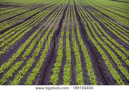 young celery plants growing in muck field in Michigan
