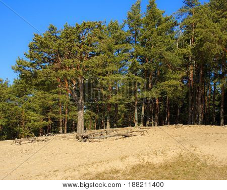 Spring morning in the Pine forest. Russia.