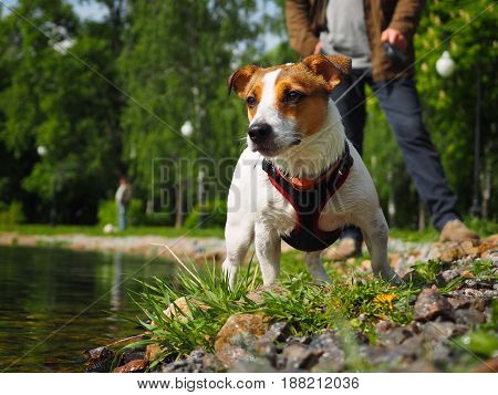 Jack Russell Terrier in a harness and on a leash